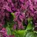 ablazin purple.jpg