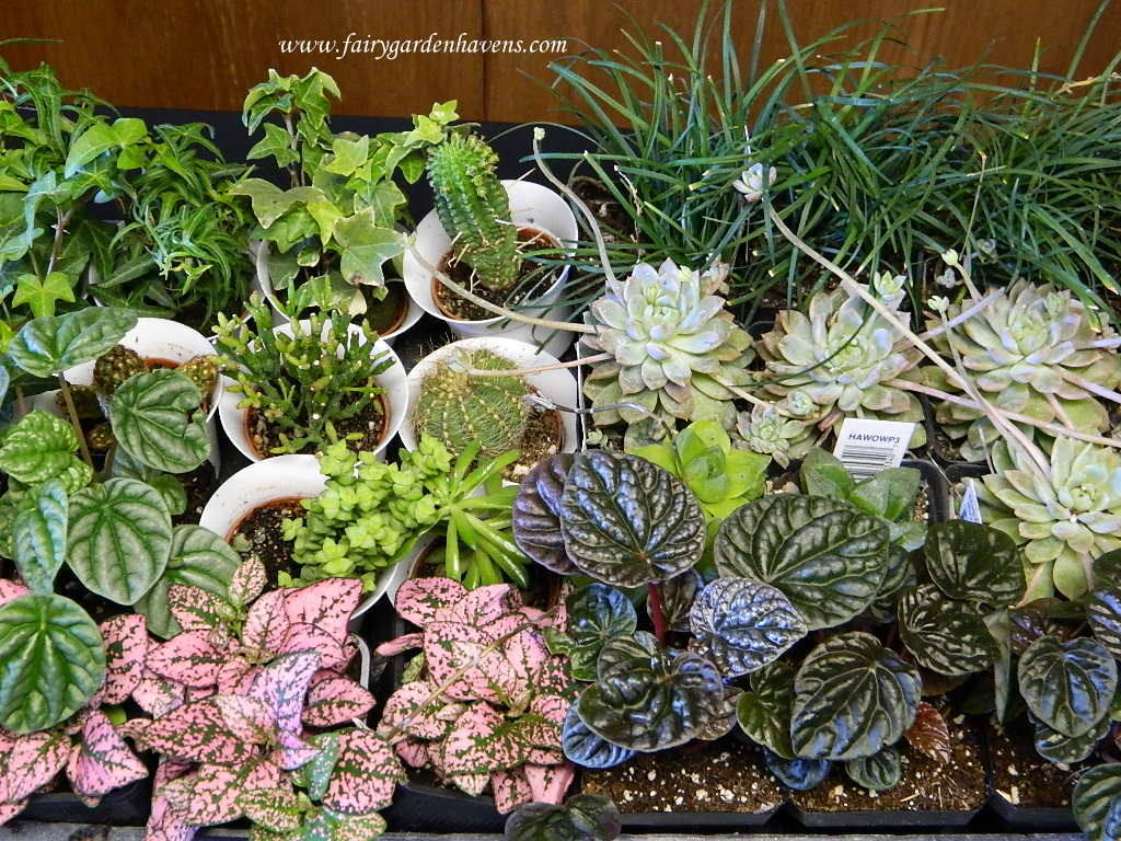 Miniature gardening town and country nurseries Fairy garden plants