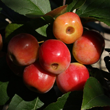 Fruiting Trees & Shrubs